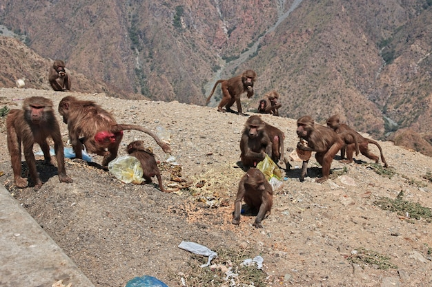 Обезьяна в горах саудовской аравии