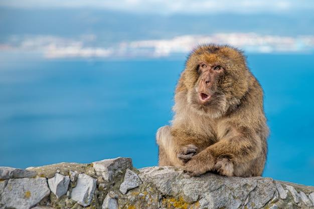 Обезьяна macaca sylvanus сидит на скале у побережья и отталкивает туристов. копировать пространство