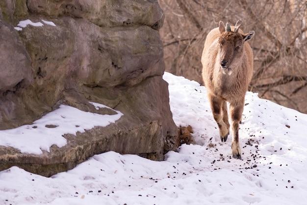 シロイワヤギは岩の上に横たわり、岩山を背景に遠くを見ています。大きくて長く美しい角。