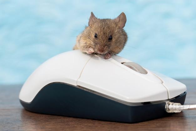 Мышь сидит на компьютерной мышке. работа в офисе за компьютером