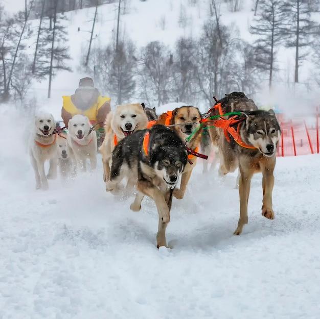 Каратель прячется за санями на собачьих упряжках по снегу зимой