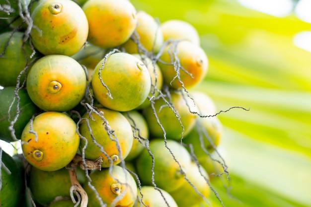 Почти созревающий орех бетеля находится на дереве желтоватого цвета.