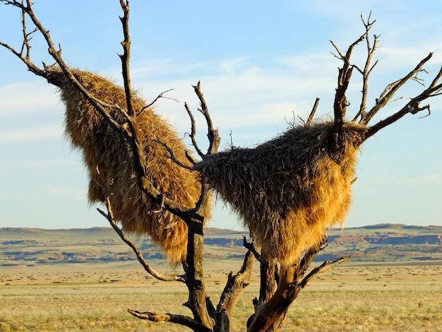 ナミビア、ソーサスフライの鳥の巣