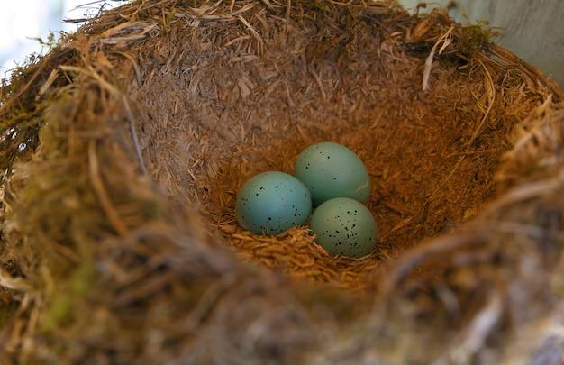 3つの青い卵を持つクロウタドリの巣