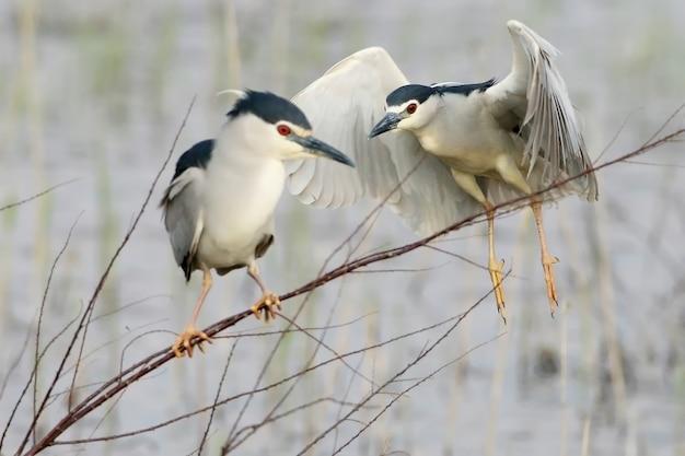 밤 헤론은 얇은 가지에 앉고 그 뒤에 다른 새가 날아갑니다. 새들의 삶에 대한 재미있는 음모
