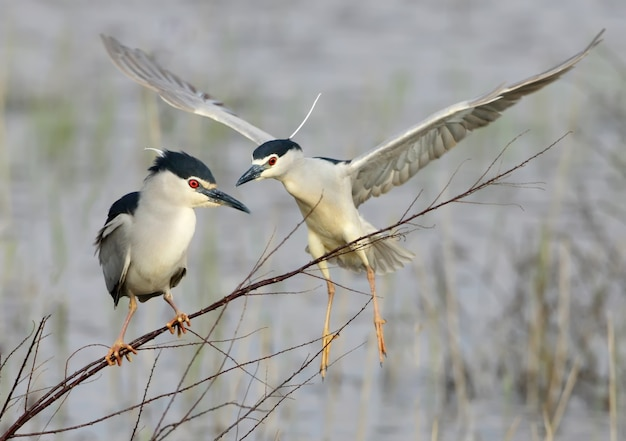 ゴイサギは細い枝に座り、その後ろに別の鳥が飛びます。鳥の生活の面白いプロット