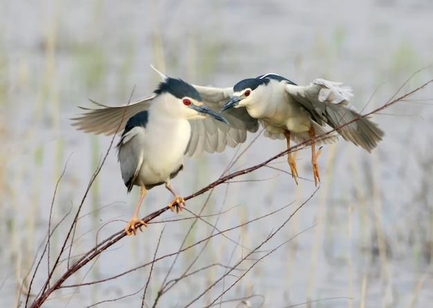 Ночная цапля сидит на тонкой ветке, а за ней взлетает другая птица. забавный сюжет из жизни птиц