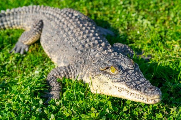 ナイルワニ(crocodylus niloticus)は、大きくて危険な肉食性の爬虫類です。