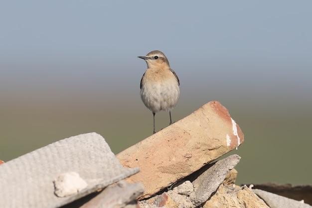 북부 wheatear 또는 wheatear (oenanthe oenanthe) 암컷은 바위 위에 서 있습니다