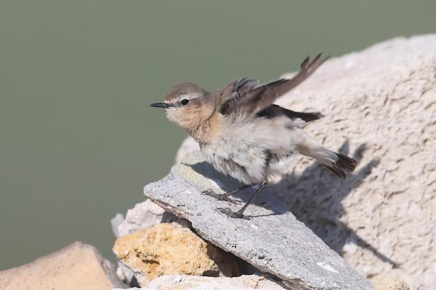 ハシグロヒタキまたはサバクヒタキ(oenanthe oenanthe)の雌が岩の上に立つ