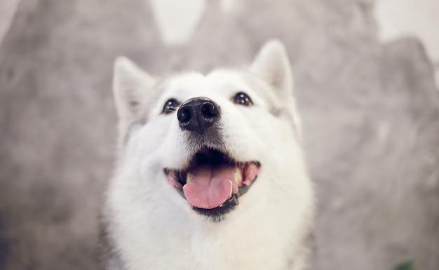 회색-흰색 색상의 행복한 시베리안 허스키 강아지의 코.