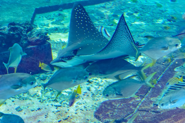 Глазчатый орлиный скат (aetobatus ocellatus) - это вид хрящевых рыб из семейства орлиных скатов myliobatidae. атлантида, санья, остров хайнань, китай.