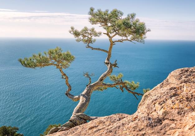 Старая сосна на скале освещена солнечными лучами. новый мир, крым. черное море