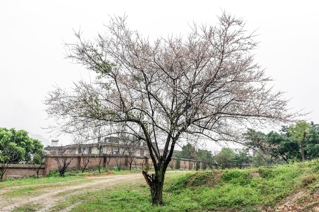 古い梅の木は雨の中です