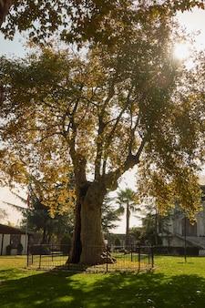 Старое дерево во дворе мечети султана ахмеда, голубая мечеть, в стамбуле. индюк
