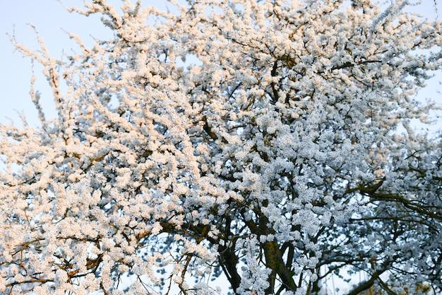 봄의 시작. 꽃 피는 나무. 화창한 날에 녹색 공원에 봄 시간에 꽃 살구. 가지에 유봉의 개구부. 흰 꽃, 열 발병
