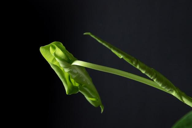 깃 모양으로 해부된 어린 몬스테라 잎의 개봉 과정. 검은 배경에
