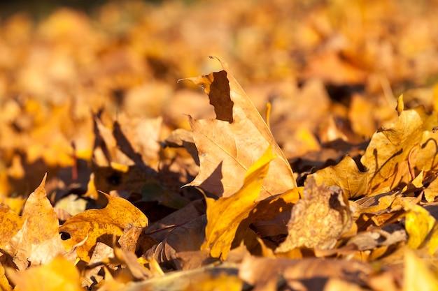 カエデのオレンジ色の乾燥した葉は秋に地面に落ちました