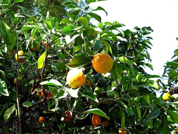 エチオピアの修道院のオレンジの木