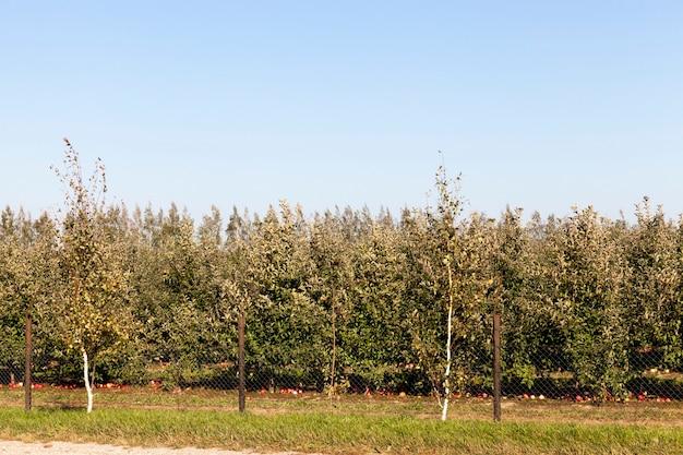 りんごが育つ果樹園 Premium写真