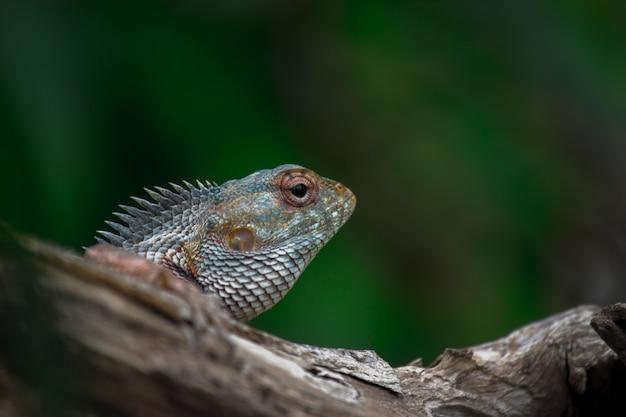 동양 정원 도마뱀 동부 정원 또는 흡혈귀 또는 통나무에 쉬고 있는 변하기 쉬운 도마뱀