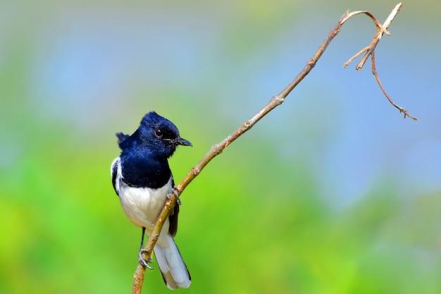 木の枝に東洋カササギロビン鳥