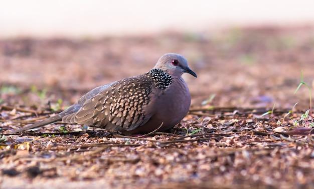 Восточная горлица или рыжеватая горлица является членом семейства птиц columbidae.