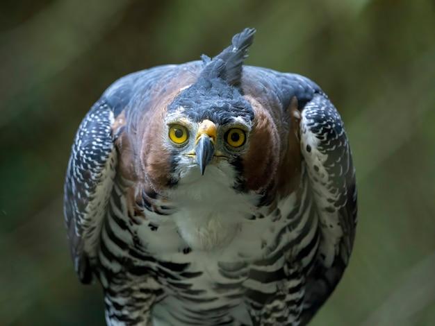 華やかなタカワシ(spizaetus ornatus)は、熱帯アメリカ大陸からのかなり大きな猛禽類です。