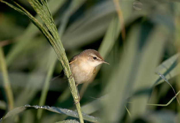 イナダヨシキリ(acrocephalus agricola)は非常にクローズアップで撮影されています。柔らかな朝の光が鳥の羽と習性の細部を際立たせます