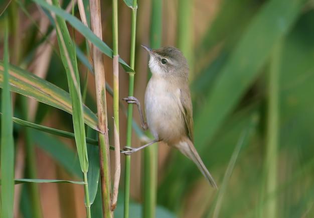 Певчая птица падди (acrocephalus agricola) сидит на тростнике в мягком утреннем свете на размытом фоне. легкая идентификация