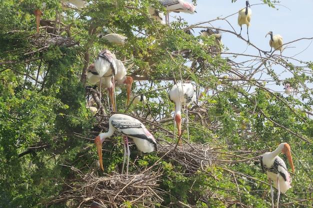 Painted stork 새 (mycteria leucocephala)와 큰 둥지 마른 나무에 플래퍼