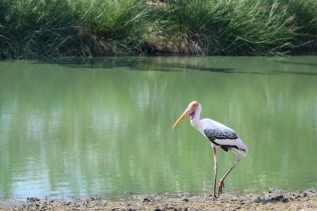 강 근처의 painted stork 새 (mycteria leucocephala)