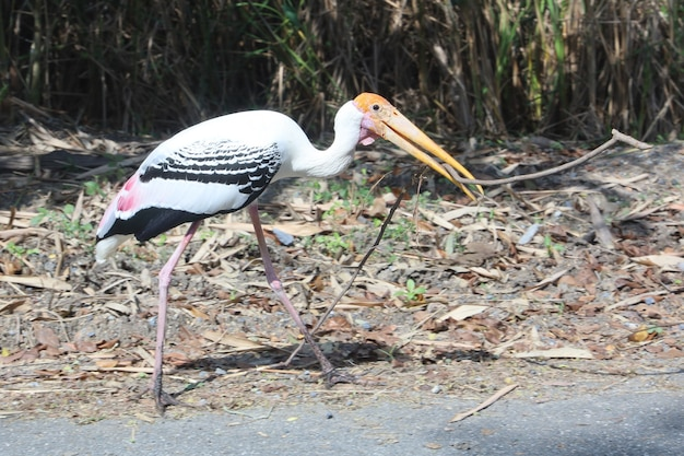 Painted stork 새 (mycteria leucocephala)는 마른 막대기 나무를 줍습니다.