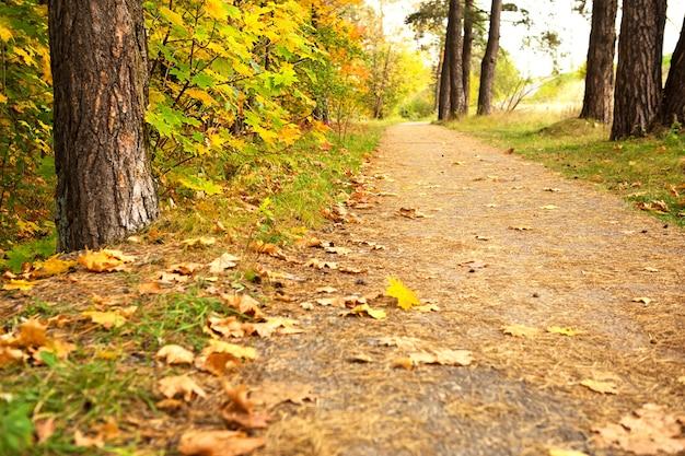森の中の小道には、乾いた黄色い紅葉が散らばっています。秋の気分、涼しい天候の中を歩く、秋の背景