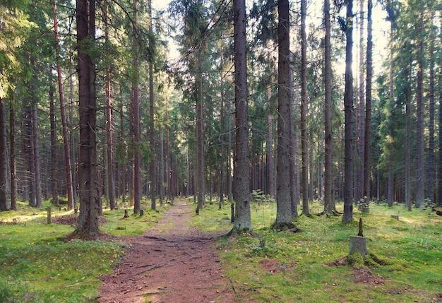 Дорожка в еловом лесу, уходящая в чащу, корни деревьев настигают тропу, летнее утро