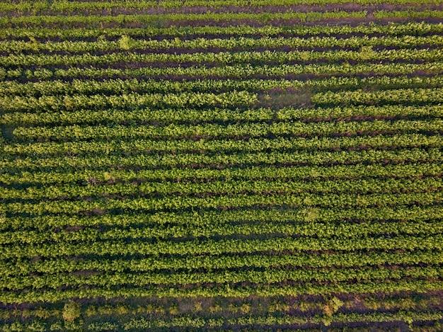Узор рядов полос почвы с молодой проросшей рассадой весной снят с дронов сверху.