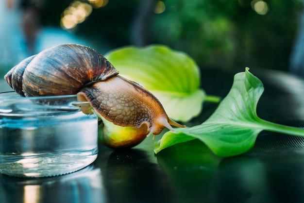 血統のカタツムリは、植物の緑の葉に這う。