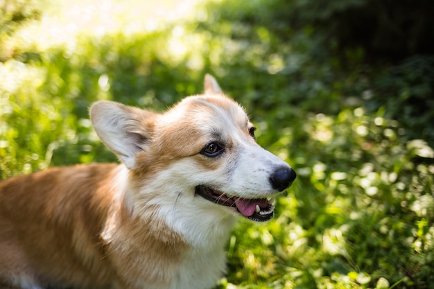 Pembroke corgi 개는 녹색 여름 잔디에 서 있습니다. 강아지와 산책