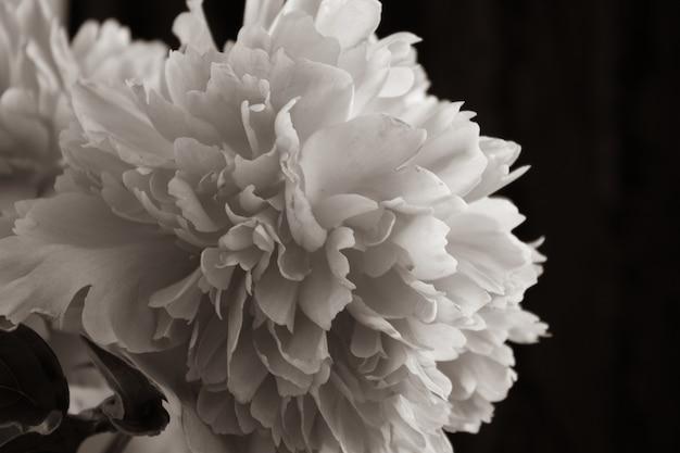 Бутон пиона с каплями росы. розовый цветок с каплями воды.