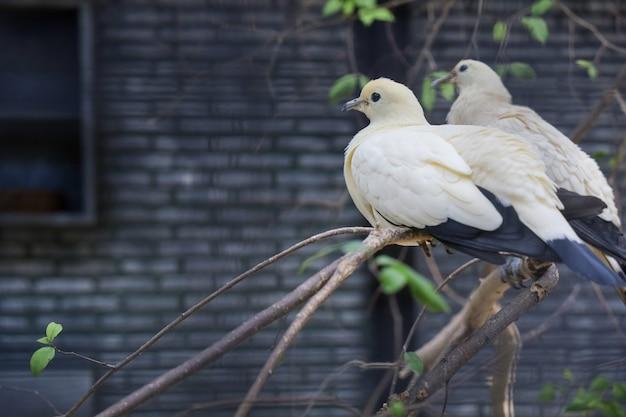 Птица-пестрый императорский голубь отдыхает в саду