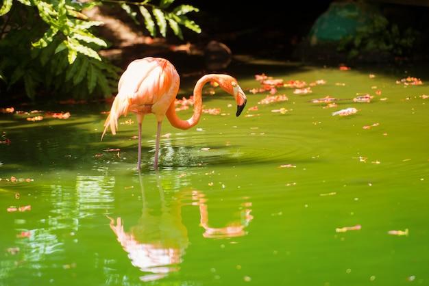 ピンクのカリブ海フラミンゴが水に行く