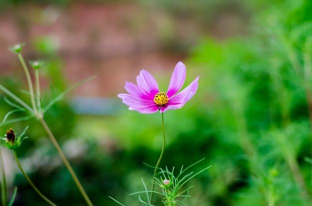 庭のピンクのコスモス