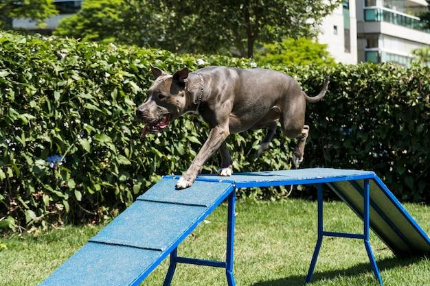 ピットブル犬は敏捷性を練習し、ドッグランで遊んでいる間、ランプを登ります。彼が運動するためのランプタイプのおもちゃとタイヤを備えた犬のスペース。