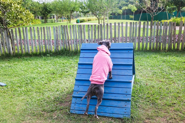 ピンクのスウェットシャツを着たピットブル犬は、敏捷性を練習し、ドッグパークで遊んでいる間、ランプを登ります。彼が運動するためのランプタイプのおもちゃとタイヤを備えた犬のスペース。