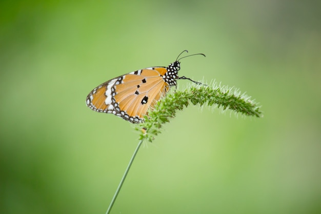 자연 녹색 배경에 꽃 식물에 자리 잡고 일반 호랑이 나비