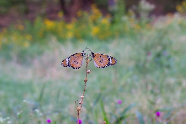 Обычная тигровая бабочка
