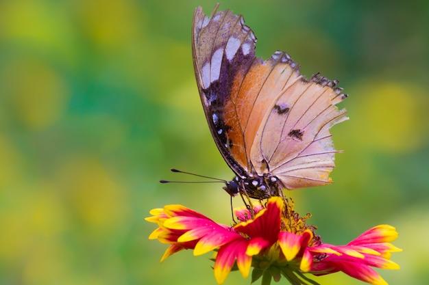 일반 호랑이 나비