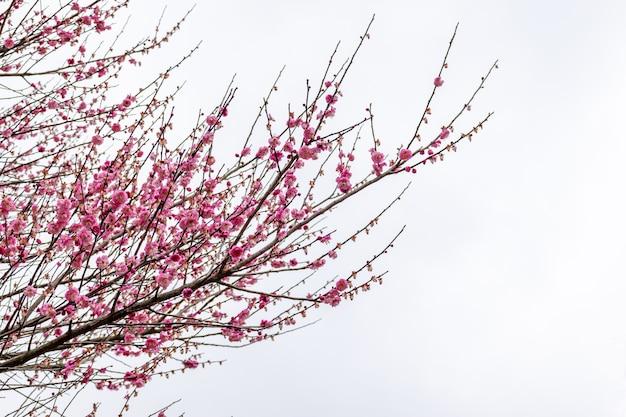 公園の道端にある梅の木が咲いています