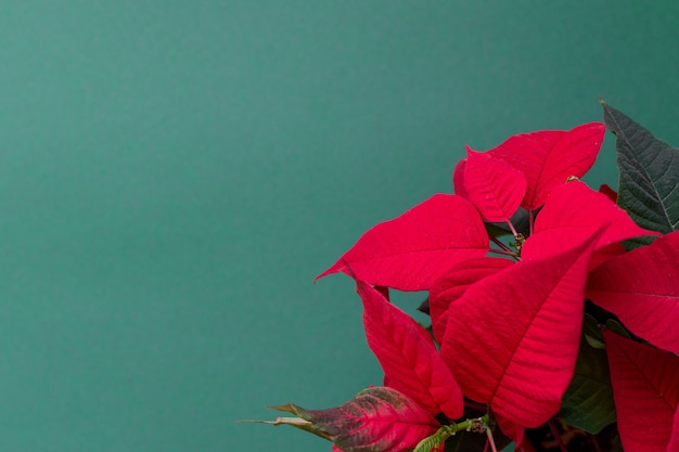 크리스마스 플라워, 크리스마스 꽃 장식, 빨강 및 녹색 잎으로도 알려진 녹색 배경의 포인세티아
