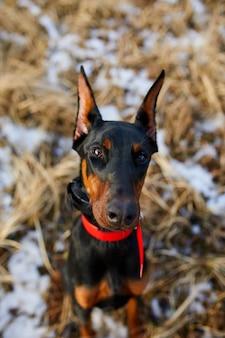 トリミングされた耳が屋外でポーズをとっている黒と茶色のドーベルマンピンシャー犬の肖像画、クローズアップ